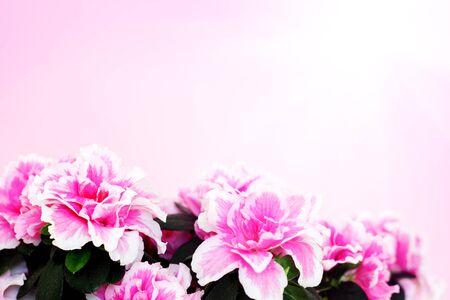 Pink azalea on pink background photo