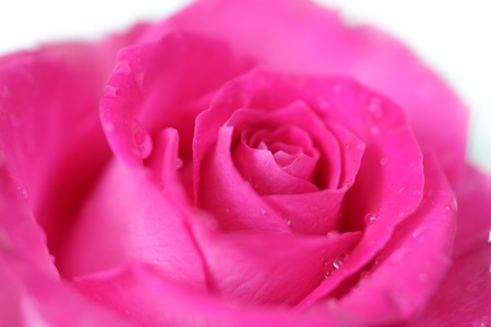 Pink rose closeup on a light background photo