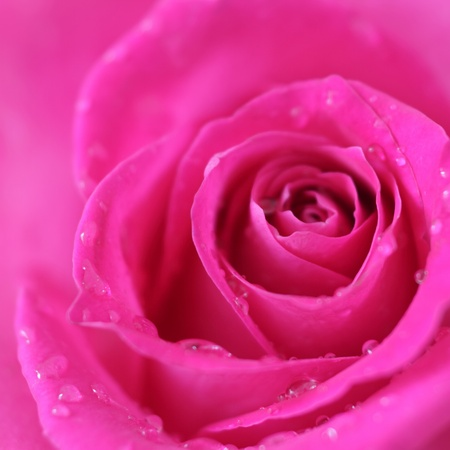 Pink rose closeup on a light background Stock Photo - 9304963