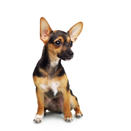 Miniature Pinscher isolated on white photo
