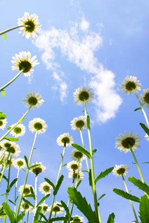 White daisies on blue sky photo