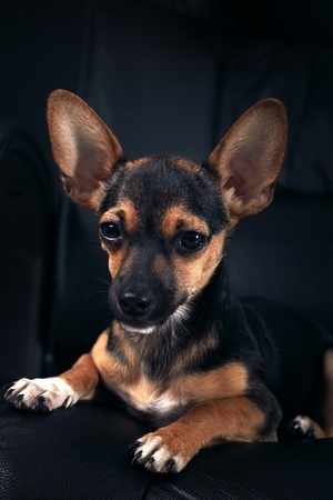 Miniature Pinscher on a black background Stock Photo - 10103227