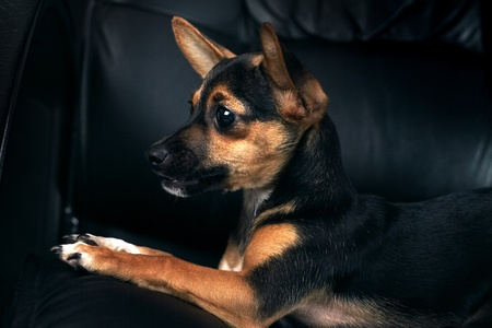 Miniature Pinscher on a black background Stock Photo - 10103226
