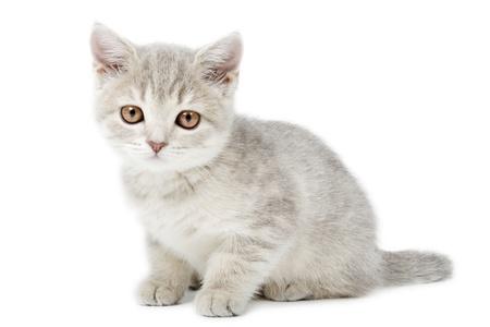 scottish straight: Scottish Straight kitten isolated on white background