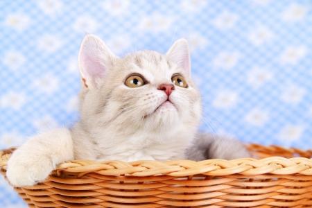 scottish straight: Scottish Straight kitten sitting in basket Stock Photo