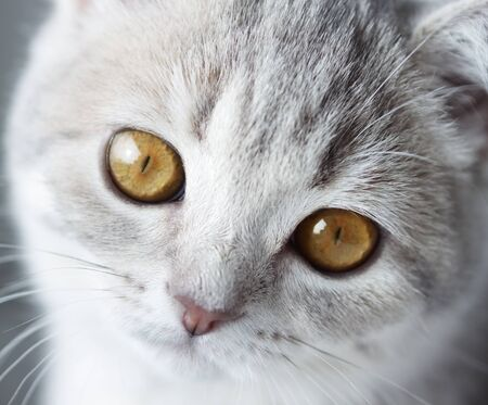 scottish straight: Kitten Scottish Straight  close-up  on light background Stock Photo