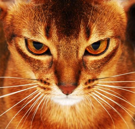 cat eyes: Abyssinian cat closeup  dark background