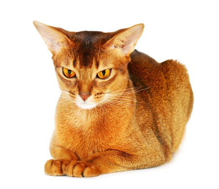 abyssinian cat: Abyssinian cat isolated on white background Stock Photo