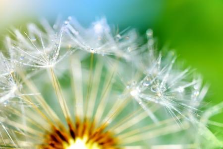 Dandelion flower on a green background. macro photo