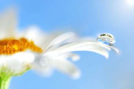 gota: flores de manzanilla y gota de agua. fondo claro Foto de archivo