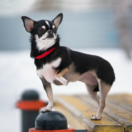Chihuahua dog. Outdoor