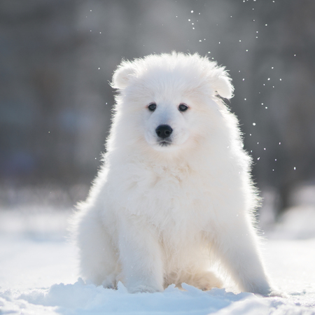 Samoyed Dog Puppy in winter