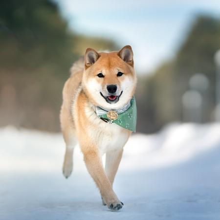 Shiba Inu dog. Outdoor