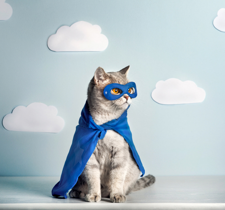 Superhero Cat. Scottish Straight Cat