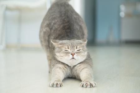 Cat stretching. Yoga cat