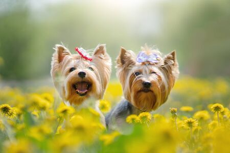 Yorkshire Terrier. Two dogs in spring