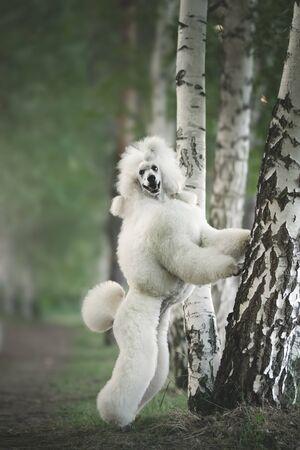 Portrait of White Big Royal Poodle Dog. Outdoor 写真素材