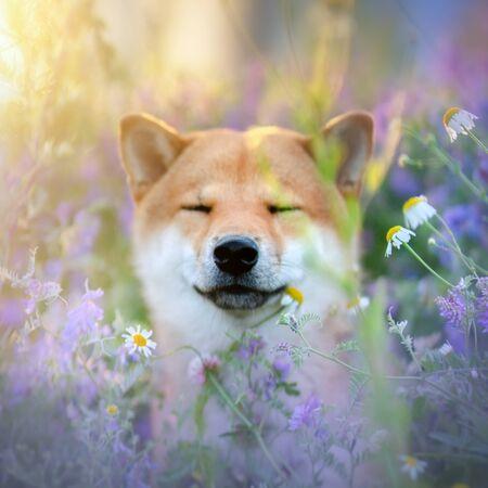 Shiba Inu dog outdoor