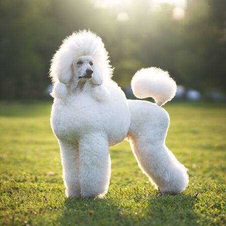 Portrait of White Big Royal Poodle Dog. Outdoor Фото со стока