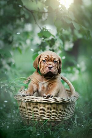 Puppy dogue de bordeaux outdoor