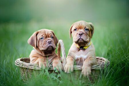 Puppies dogue de bordeaux outdoors