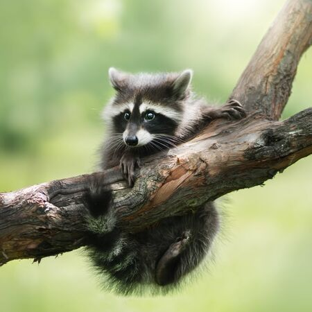 Funny raccoon on a branch. Outdoor