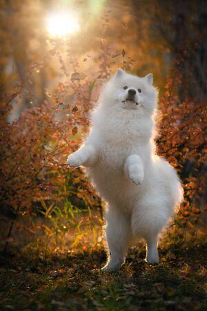 Samoyed in the autumn park. Autumn dog