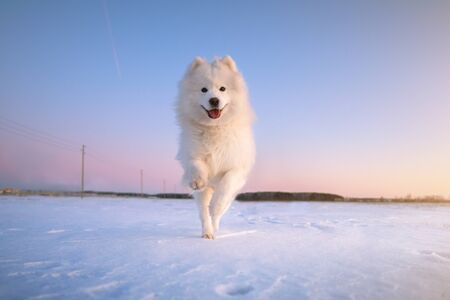 Samoyed dog. Sunset in the field