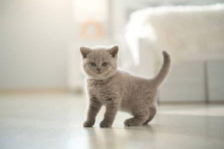 Cute Shorthair British Kitten Indoors