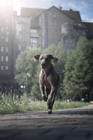 Weimaraner dog in the park 免版税图像