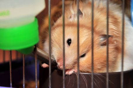 drinker: little red hamster is using  hanging drinker in the cage