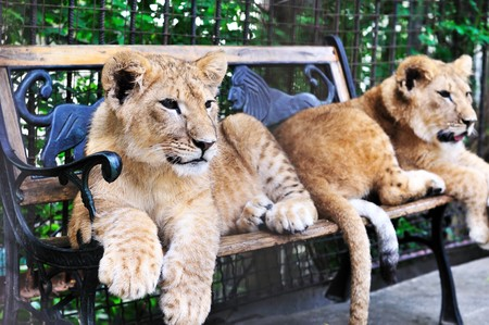 two lion cubs  laying on the bench photo