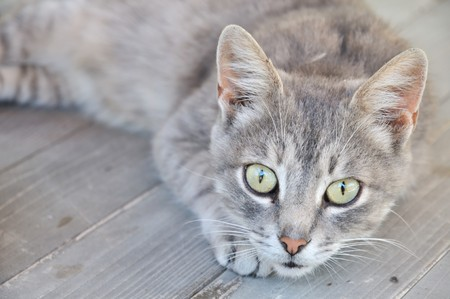 gray cat on the wooden deck photo