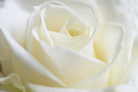 funeral background: fresh rose background , closu up , soft focus