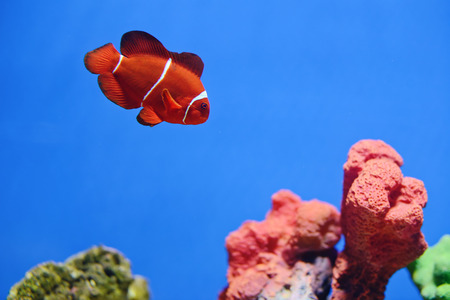 clown fish or anemone fish  photo