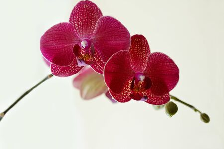 olant: Beautiful purple orchid phalaenopsis in soft selective focus Stock Photo