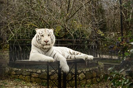 White tiger is relaxing and looking at the camera Archivio Fotografico