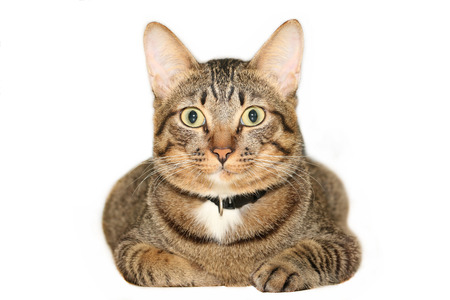 animal related: Tabby Cat