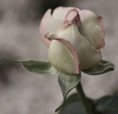 Elegant Rose photo