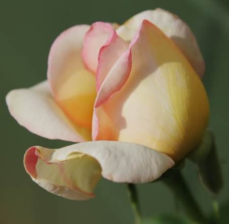 Delicate Rose photo