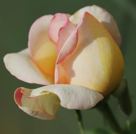 Delicate Rose Zdjęcie Seryjne