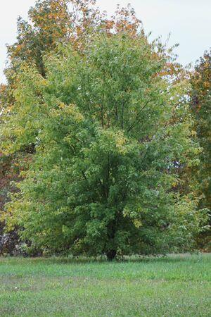 silver maple: Silver Maple Stock Photo