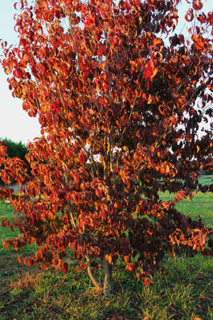 Fall White Dogwood