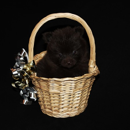 pet photography: Chocolate Pomeranian Puppy - Photography Stock Photo