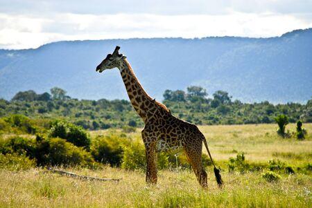 urinating: Urinating giraffe Stock Photo