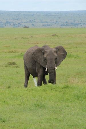 urinating: Elephant urinating Stock Photo