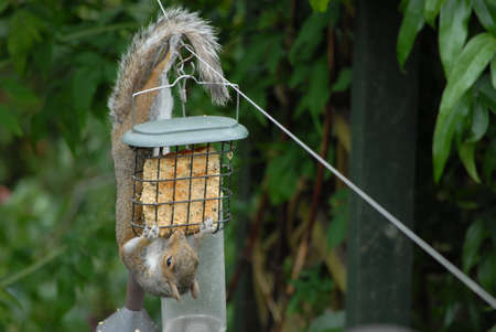 Squirrel eating from bird feeder photo