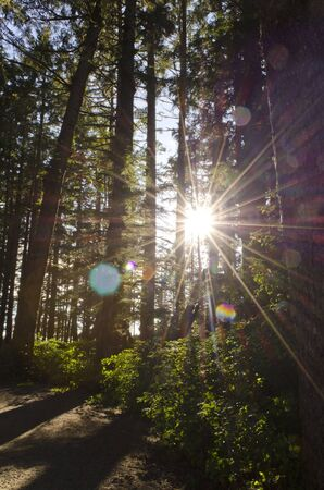 sunlight coming through old growth trees with lens flare Фото со стока