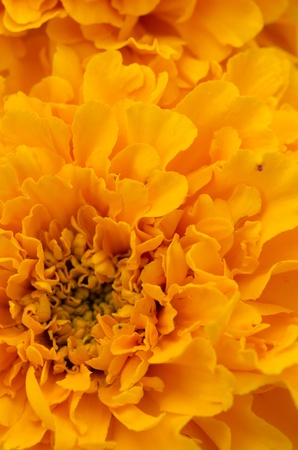 macro image of marigold flower