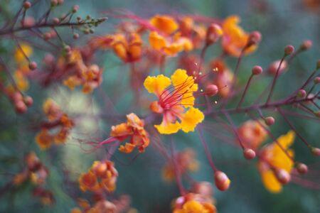 a red caesalpinia pulcherrima bird of paradise flower Stock Photo